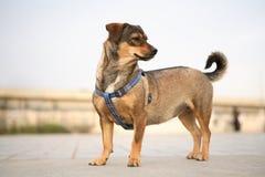 Cão curto do pé Fotos de Stock Royalty Free