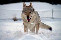 cão czechoslovakian do lobo Foto de Stock