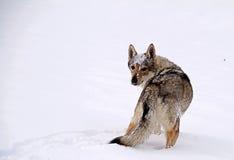cão czechoslovakian do lobo Imagem de Stock