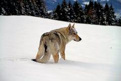 cão czechoslovakian do lobo Imagem de Stock Royalty Free