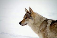 cão czechoslovakian do lobo Fotos de Stock Royalty Free