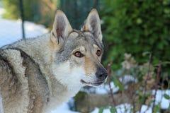 cão czechoslovakian do lobo Fotografia de Stock