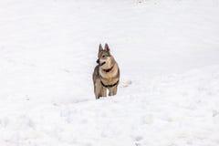 Cão Czechoslovakian do lobo no inverno Imagens de Stock Royalty Free