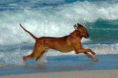 Cão da ação Foto de Stock
