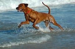 Cão da ação Imagem de Stock Royalty Free