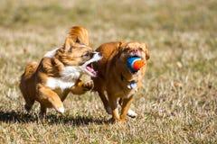 Cão da ação com uma bola Imagens de Stock