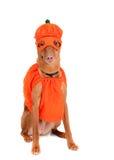 Cão da abóbora Imagem de Stock