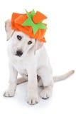 Cão da abóbora da ação de graças Fotografia de Stock Royalty Free