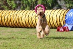 Cão da agilidade! fotos de stock royalty free