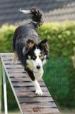 Cão da agilidade Imagem de Stock Royalty Free