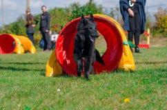 Cão da agilidade Fotos de Stock Royalty Free