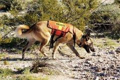 Cão da busca Imagens de Stock