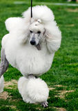Cão da caniche fotos de stock royalty free