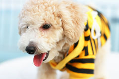 Cão da caniche de Cutie Fotos de Stock Royalty Free