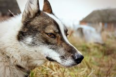 Cão da casca husky Cão no fundo da grama O cão é close-up Imagem de Stock Royalty Free