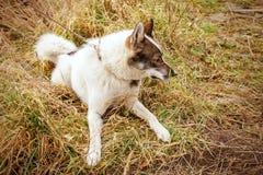 Cão da casca husky Cão no fundo da grama O cão é close-up Fotografia de Stock Royalty Free