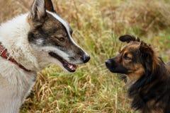 Cão da casca husky Cão no fundo da grama O cão é close-up Foto de Stock