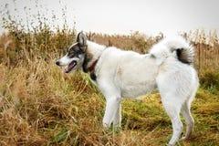 Cão da casca husky Cão no fundo da grama O cão é close-up Foto de Stock Royalty Free