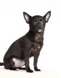 Cão da chihuahua fotos de stock royalty free