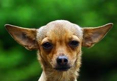 Cão da chihuahua Fotografia de Stock