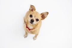 Cão da chihuahua Foto de Stock Royalty Free