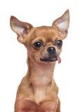Cão da chihuahua Foto de Stock