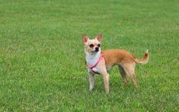 Cão da chihuahua ao ar livre Fotografia de Stock