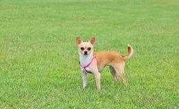 Cão da chihuahua ao ar livre Fotos de Stock Royalty Free