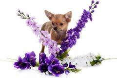 Cão da chihuahua com as flores no fundo branco. Imagens de Stock