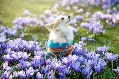 Cão da chihuahua com as flores roxas do açafrão Fotos de Stock
