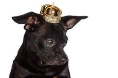 Cão da chihuahua com coroa dourada imagem de stock royalty free
