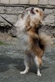 Cão da chihuahua da cor marrom Suporte nos pés traseiros, close-up imagens de stock royalty free