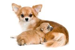 Cão da chihuahua da raça e do seu filhote de cachorro Imagem de Stock Royalty Free