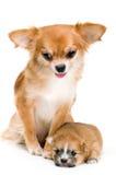 Cão da chihuahua da raça e do seu filhote de cachorro foto de stock