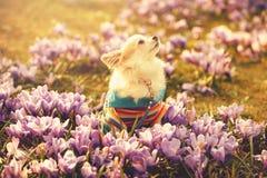 Cão da chihuahua e flores roxas delicadas do açafrão Imagem de Stock