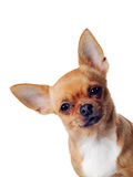 Cão da chihuahua isolado Foto de Stock Royalty Free