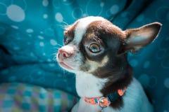 Cão da chihuahua na cama fotografia de stock