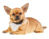 Cão da chihuahua no anti colar da pulga isolado no fundo branco Foto de Stock