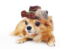Cão da chihuahua que desgasta no chapéu do tartan imagem de stock