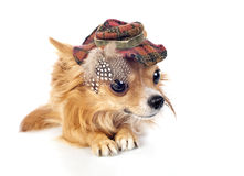 Cão da chihuahua que desgasta no chapéu elegante do tartan fotos de stock royalty free