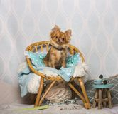 Cão da chihuahua que senta-se na cadeira no estúdio, retrato Imagem de Stock Royalty Free