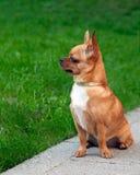 Cão da chihuahua que senta-se na grama verde Foto de Stock Royalty Free