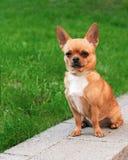 Cão da chihuahua que senta-se na grama verde Imagens de Stock