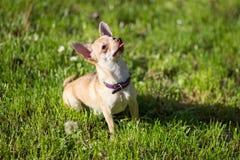 Cão da chihuahua que senta-se olhando acima o vertical Imagens de Stock