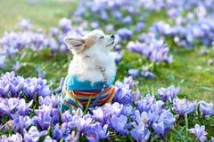 Cão da chihuahua que sonha entre flores roxas do açafrão Fotografia de Stock Royalty Free