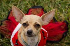 Cão da chihuahua que veste um retrato do vestido Foto de Stock Royalty Free