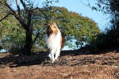 Cão da collie Imagens de Stock