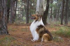 Cão da collie Imagem de Stock Royalty Free
