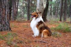 Cão da collie Fotografia de Stock