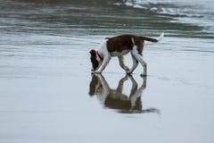 Cão da collie do cachorrinho Imagem de Stock